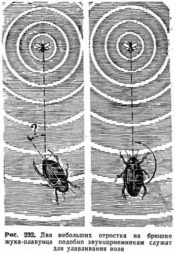 Рис. 232. Два небольших отростка на брюшке жука-плавунца подобно звукоприемникам служат для улавливания волн